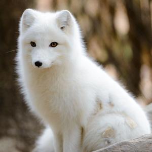 top 10 endangered animals in arctic tundra region unique nature