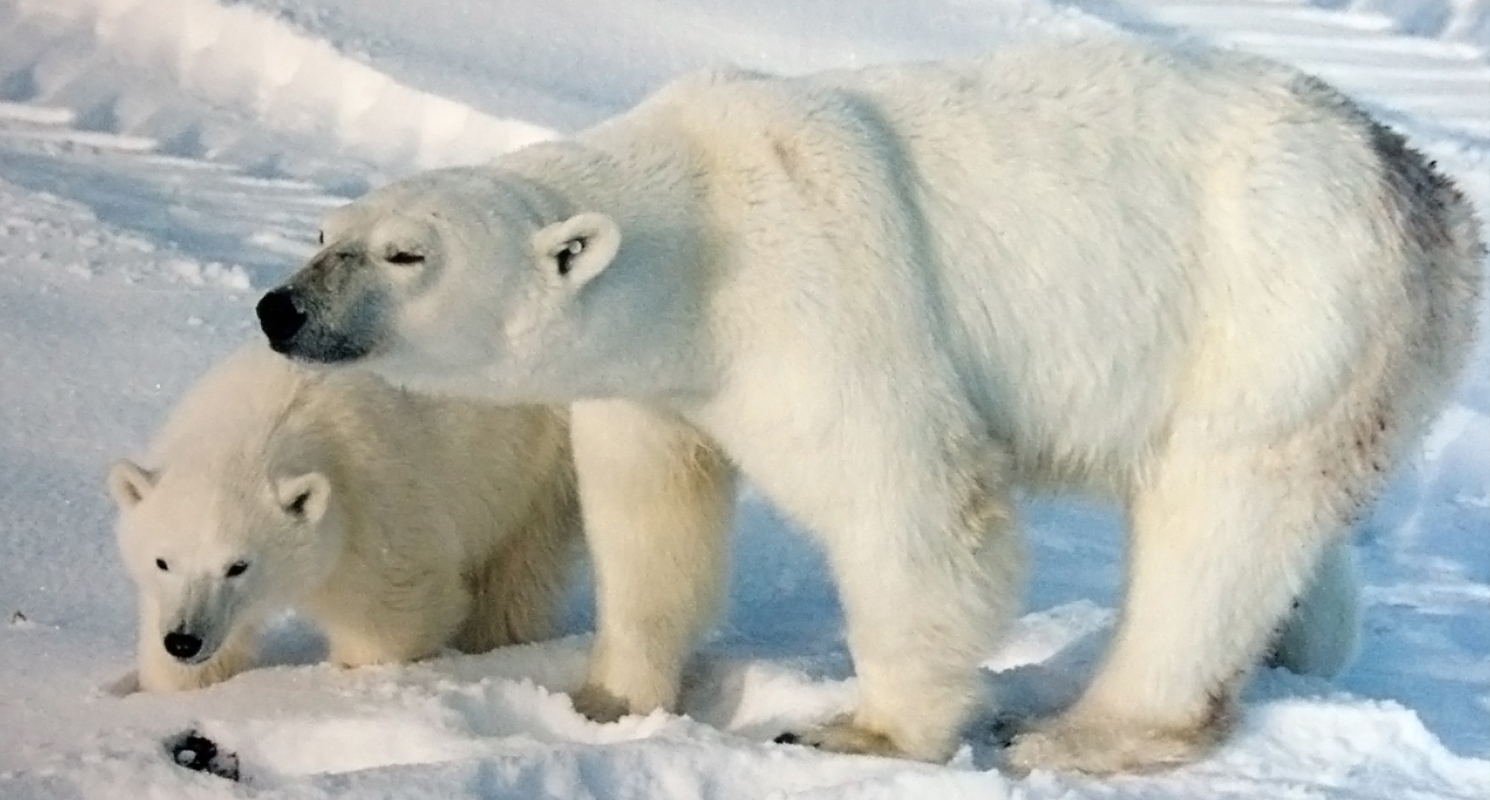 Top 10 Endangered Animals In Arctic Tundra Region – Unique ...