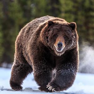 Explore Rare Species Of Animals In Boreal Forest Unique Nature Habitats